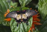 Porte-queue lowi / Great Yellow Mormon, Asian Swallowtail (Papilio lowi)