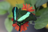 Machaon émeraude / Banded Peacock (Papilio palinarus)