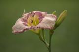 Hémérocalles - Daylilies