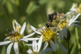 Punaise embusquée / Ambush Bug ((Phymata americana americana)