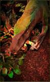 Chinde Lizard