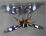 Native Missouri Wild Butterflies