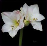 Cherry Blossom Amaryllis