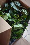 New Hibiscus Plants