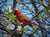 Cardinal in the Pear Tree 2021