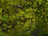 Norway Maple Flowers 2021