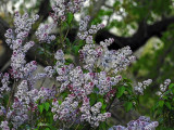 Lilac Time 2021