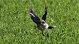 Loggerhead Shrikes In Flight