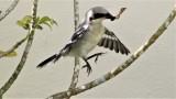 Loggerhead Shrike Fledglings Mimicking Adult Hunting Behavior!