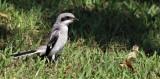 Loggerhead Shrike Fledglings learning Their Hunting Skills