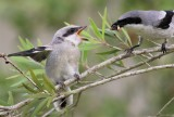 Loggerhead shrike fledglings