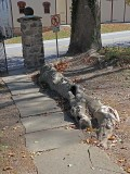 Sycamore Root