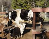 _MG_9489 8x10 bo goats.jpg