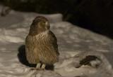 Blakiston's Fish Owl (Bubo blakistoni)
