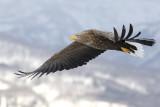 White-tailed Sea Eagle                             (Haliaeetus albicilla)