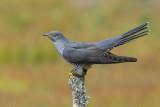 Auks, Sandgrouse, Pigeons, Doves, Cuckoos