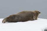 Bearded Seal (Erignathus barbatus)