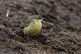 Eastern Yellow Wagtail - Sedgeford, Norfolk.