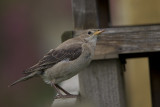 Rose-coloured Starling (Pastor roseus)