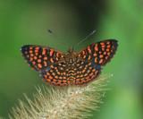 Caribbean Butterflies