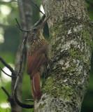 Ivory-billed Woodcreeper - Xiphorhynchus flavigaster