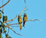 Olive-throated Parakeet - Aratinga nana