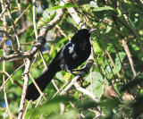 Black Catbird - Melanoptila glabrirostris