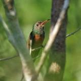 Buff-bellied Hummingbird - Amazilia yucatanensis