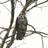 Gray Hawk - Buteo nitidus (immature)