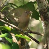 Rose-throated Tanager - Piranga roseogularis