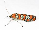 2401 - Ailanthus Webworm Moth - Atteva aurea