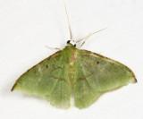 Tachyphyle undilineata