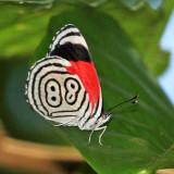 Honduras Butterflies
