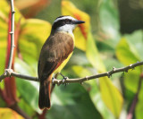 Honduras Birds