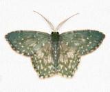 Chloropteryx dealbata