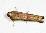 Carthara albicosta