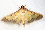 Clidemia Leafroller - Ategumia ebulealis