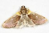 Crambidae - Apilocrocis excelsalis