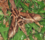 Eumorpha sp.