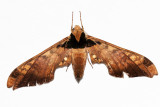 Adhemarius ypsilon