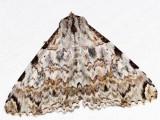 Orodesma cladonia