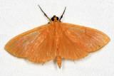 Crambidae - Phaedropsis sp.