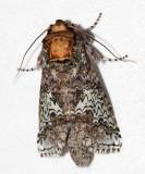 Sericochroa luculenta
