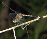 Micrathyria didyma (female)