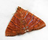 Eulepidotis sp.