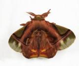 Bombycid Moth - Epia muscosa