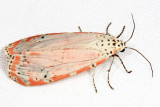 8105 - Ornate Moth - Utetheisa ornatrix