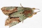 Stauropides sp.