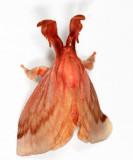 Perola villosipes