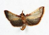 Hypsopygia amoenalis